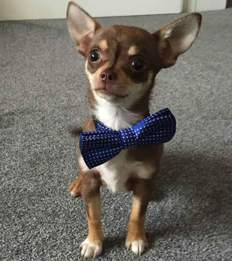 cute chihuahua wearing bow tie