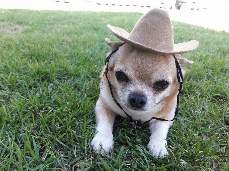 chi in cowboy hat in grass