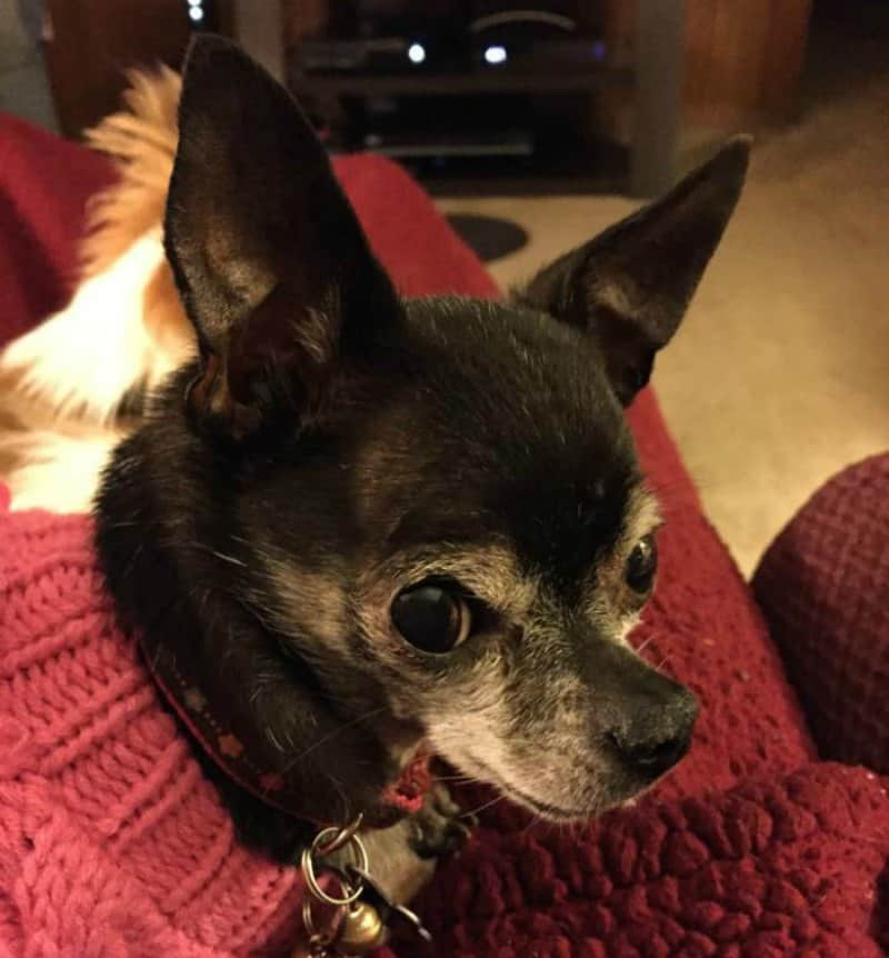 older chihuahua