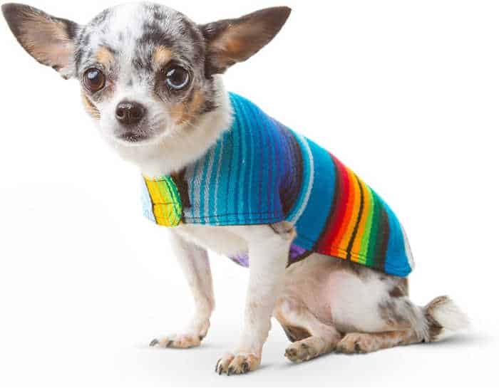 chihuahua wearing Mexican poncho