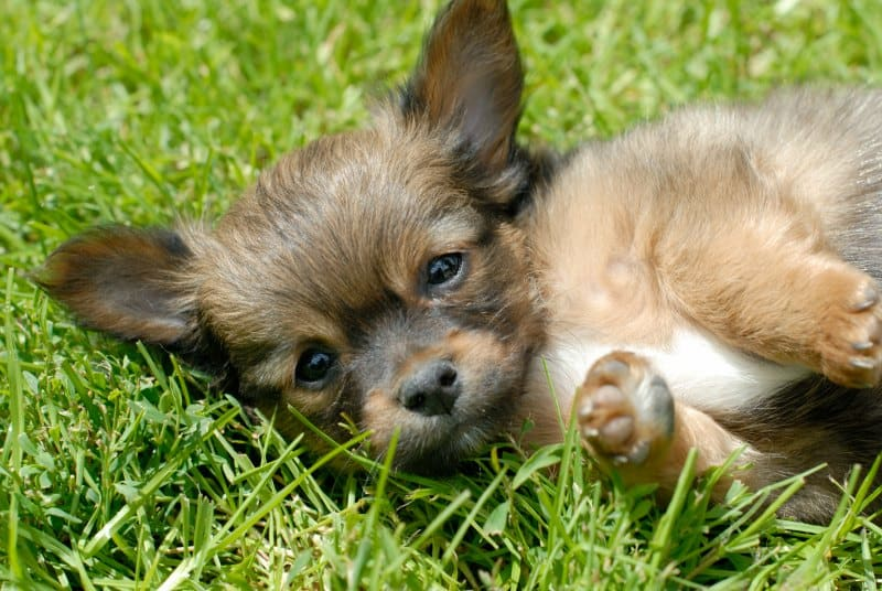 puppy laying in grass