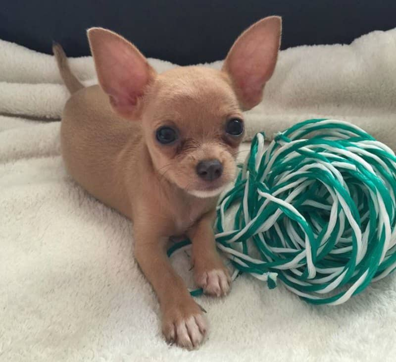 puppy with ball of yarn