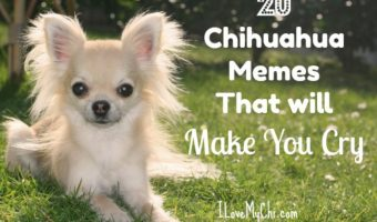crying chihuahua meme dog memes archives i love my chi 9596