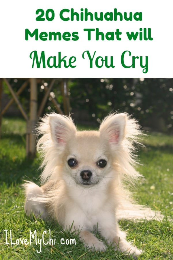 These chihuahua memes may bring a tear to your eye. #chihuahua #meme