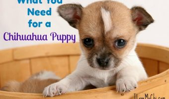 What You Need for a Chihuahua Puppy