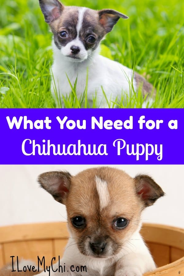 If you are planning on getting a chihuahua puppy, there are supplies you will need for your new fur baby. This article will show you what to get. #chihuahua #puppy