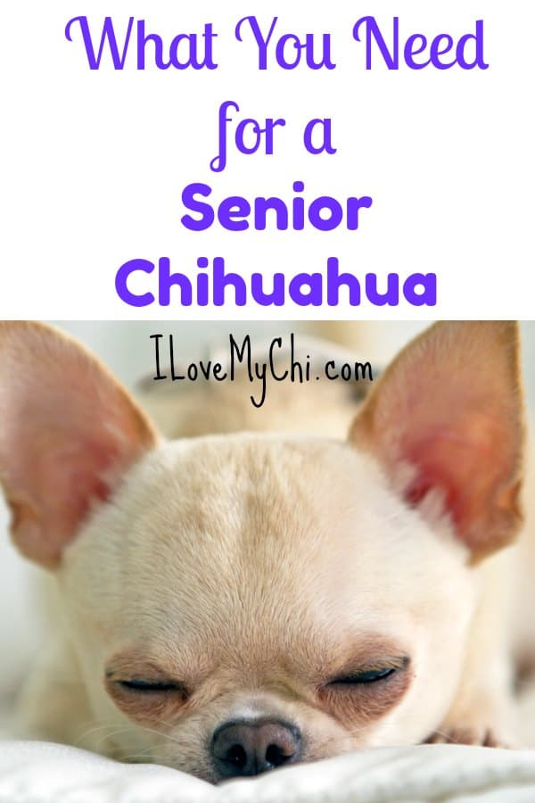 What You Need for a Senior Chihuahua