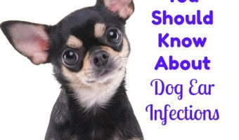 What You Should Know About Dog Ear Infections