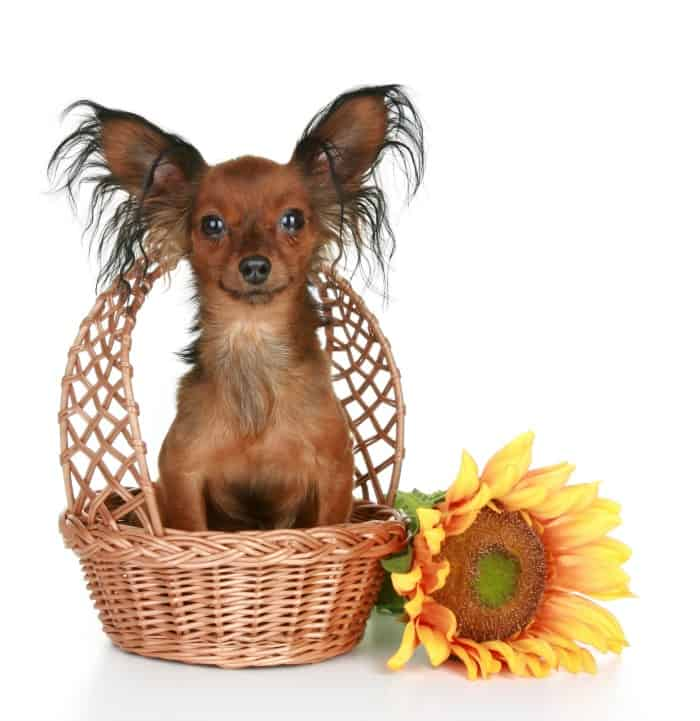 cute chihuahua in basket