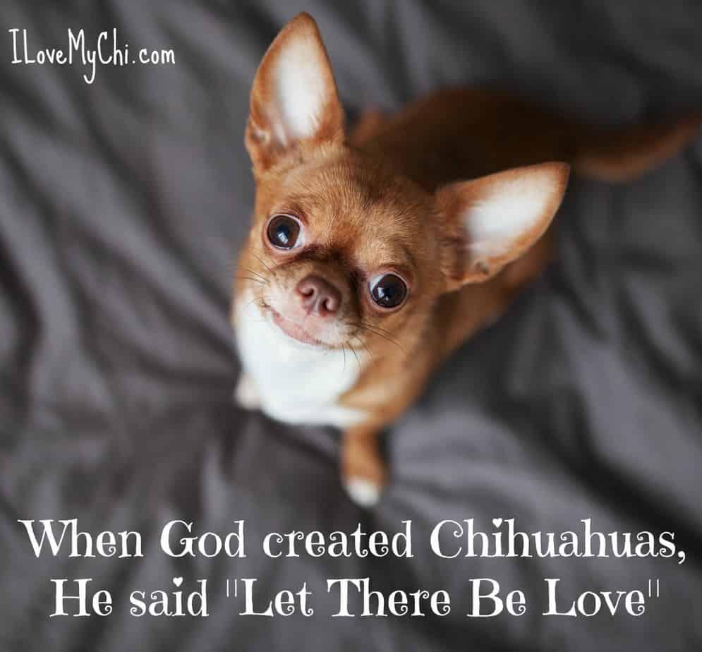 chihuahua meme
