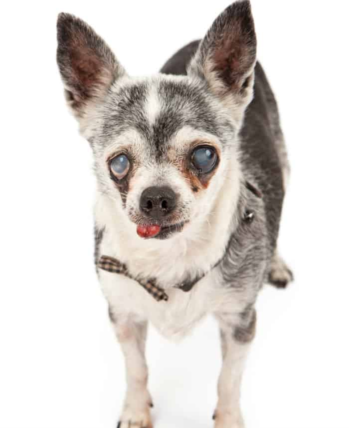 elderly chihuahua with cloudy eyes