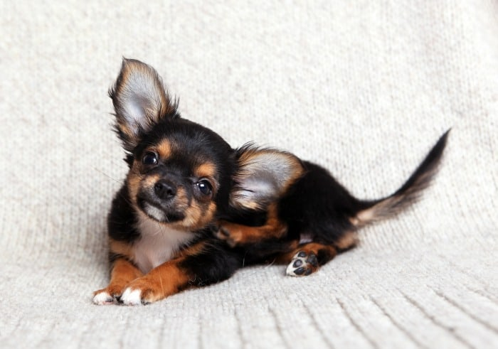 cute chihuahua with big ears laying down