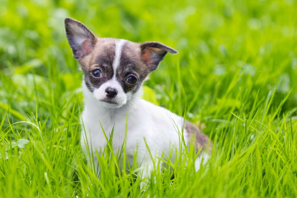 white and brown puppy in grass