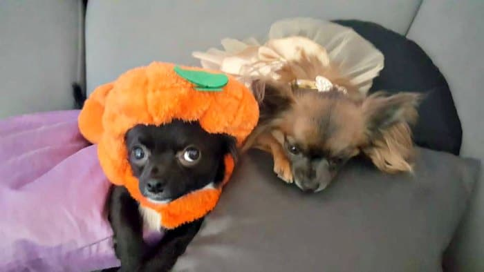 2 chihuahuas in their Halloween costume as a pumpkin and princess