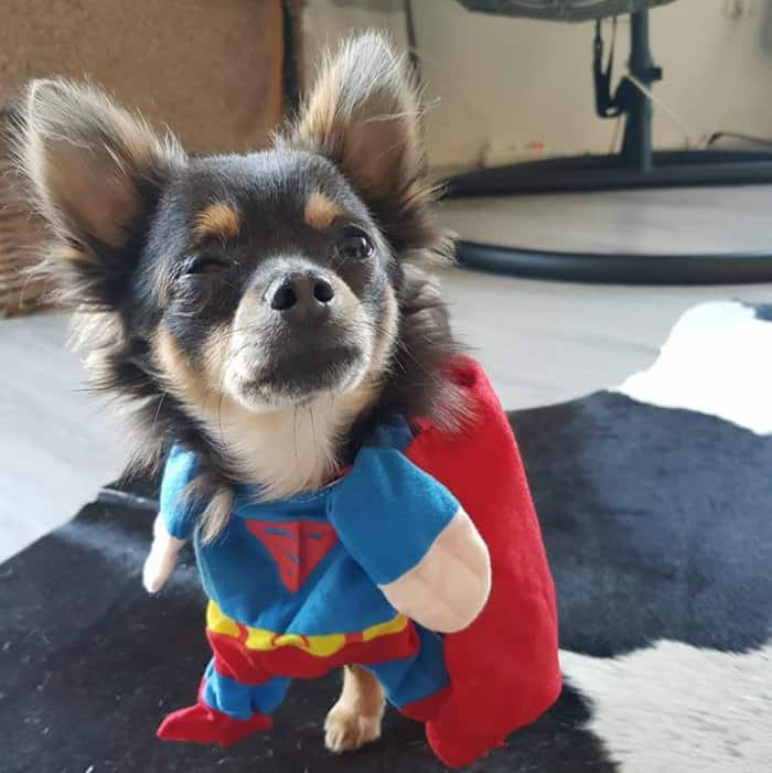 chihuahua in superman Halloween costume