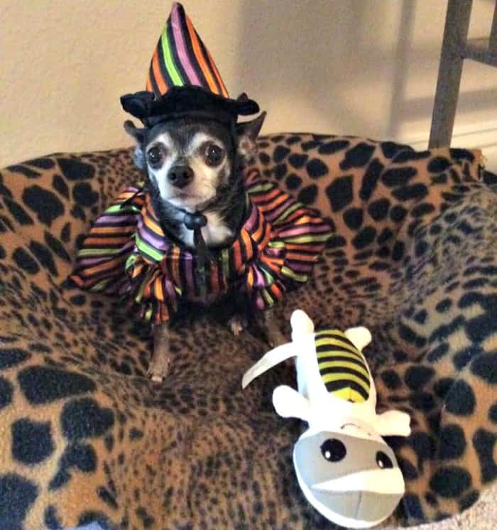 chihuahua in witch's costume