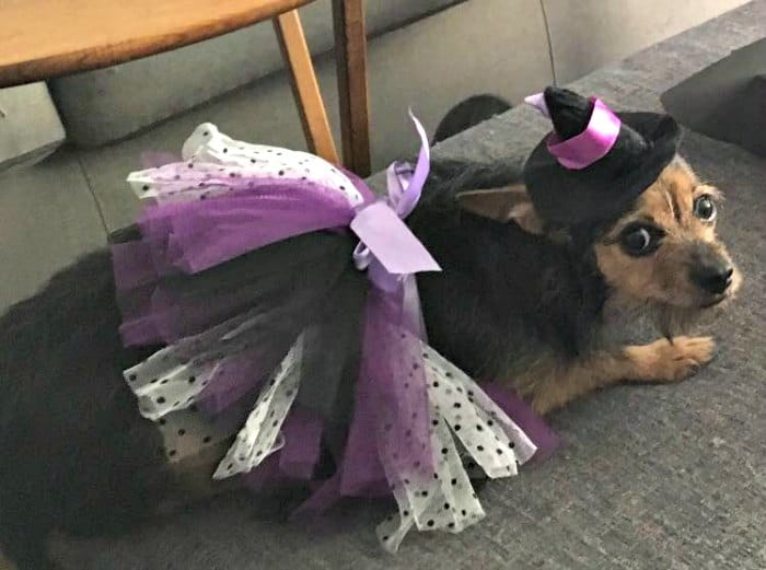 chihuahua in witch costume