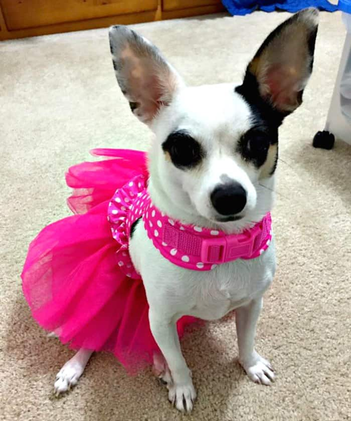 chihuahua in ballerina costume