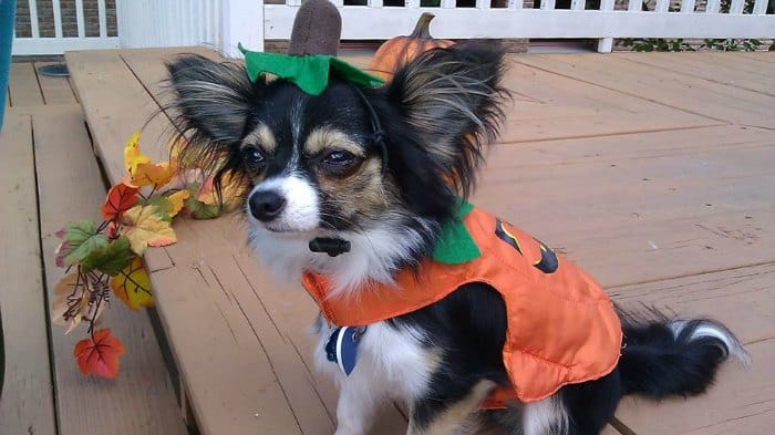 chihuahua in pumpkin costume