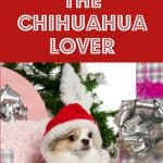 chihuahua dog with gift