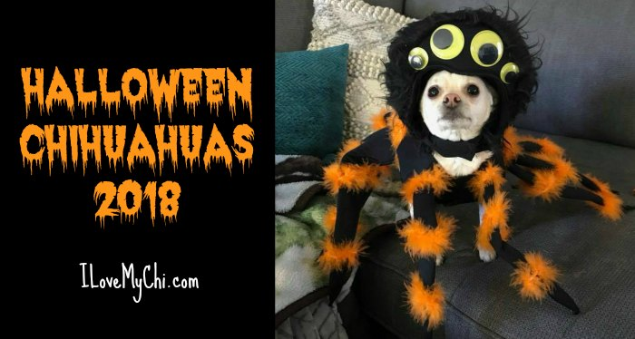 Halloween Chihuahuas 2018