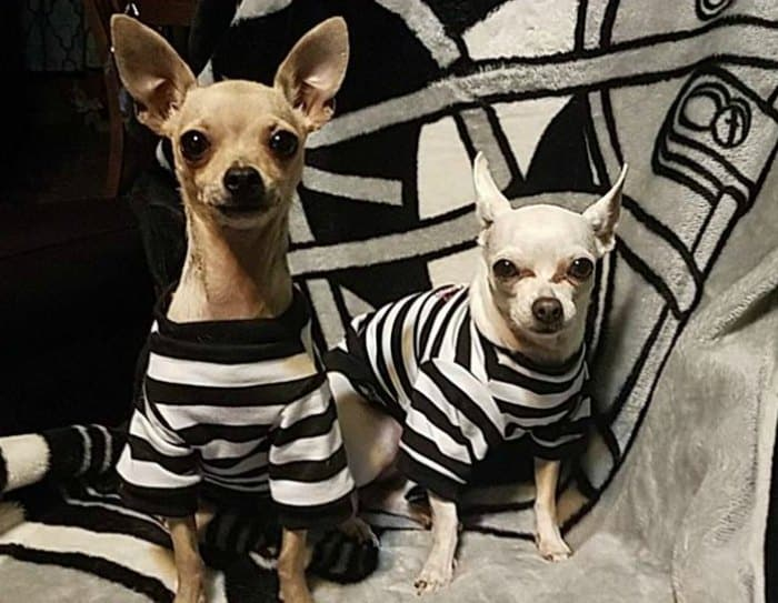 2 chihuahuas in prisoner costumes