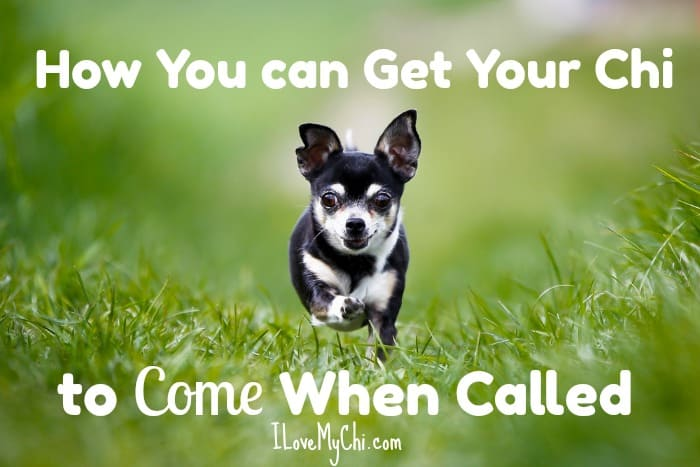 How to Get Your Chihuahua to Come When Called