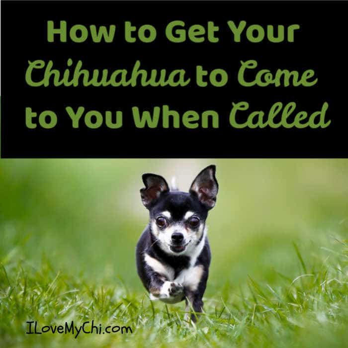 chihuahua dog running outside in grass