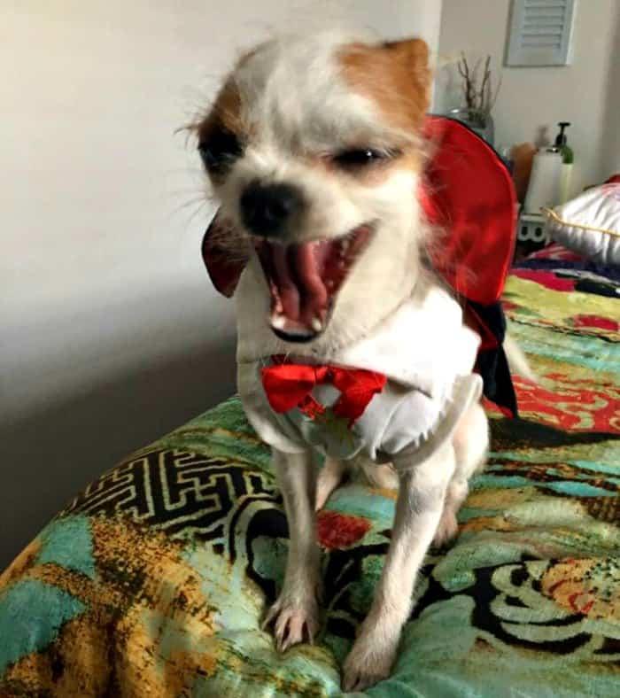 chihuahua in vampire costume