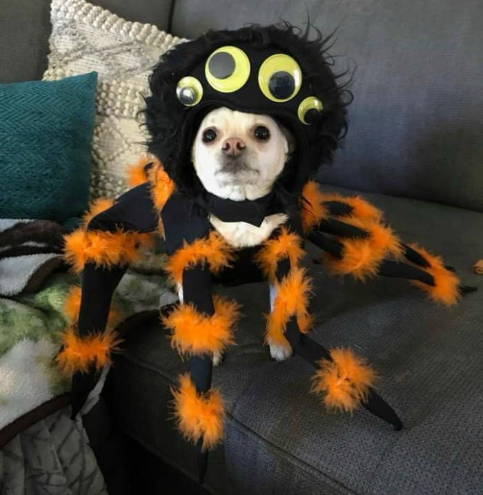 chihuahua wearing spider costume