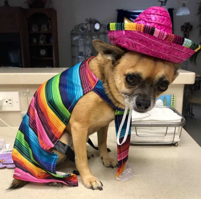 Lucy in her poncho and sombrero