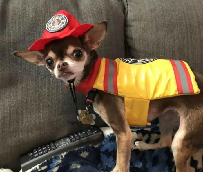 chihuahua in fireman costume