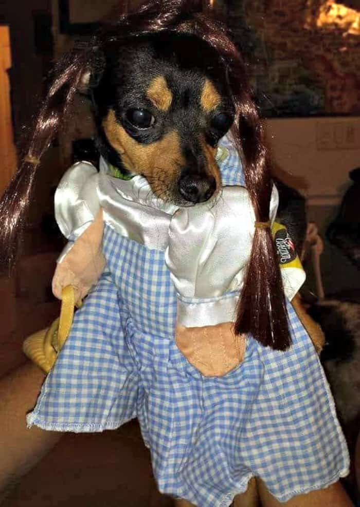 chihuahua in Dorothy from Wizard of Oz costume
