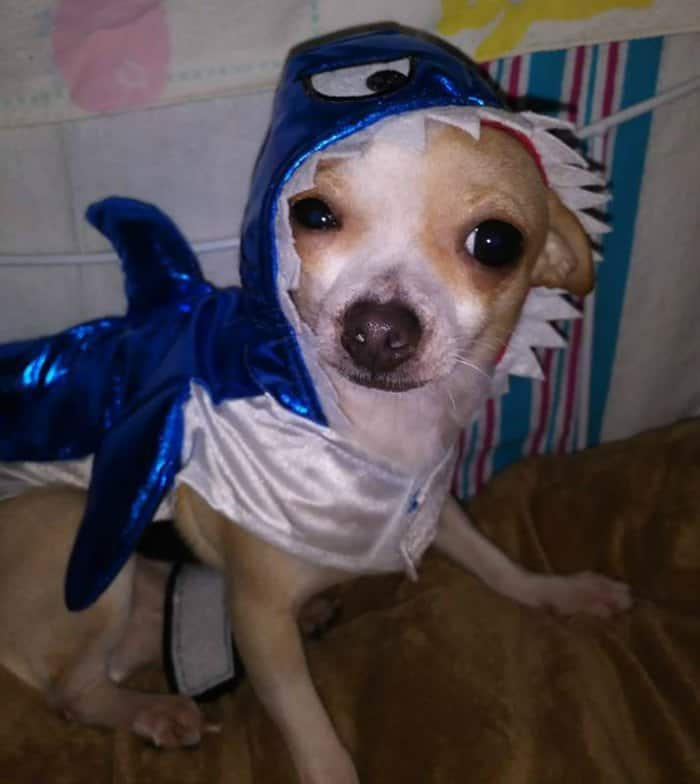 chihuahua in shark costume