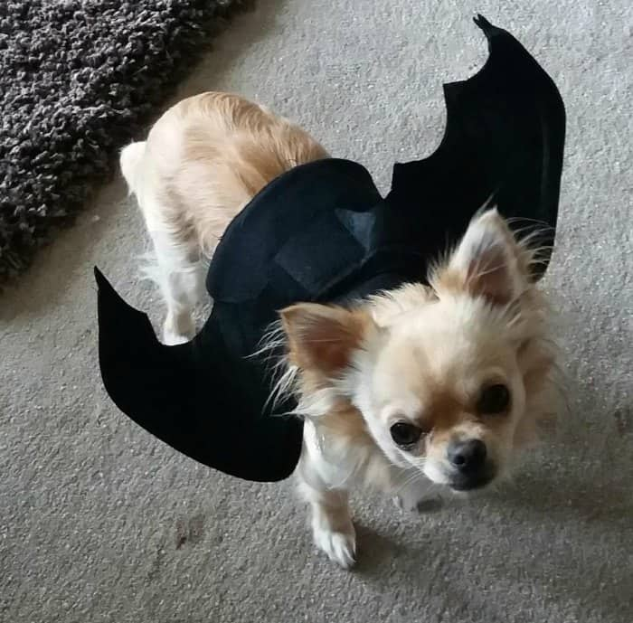 chihuahua dressed in bat costume