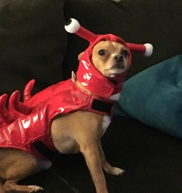 chihuahua in lobster costume