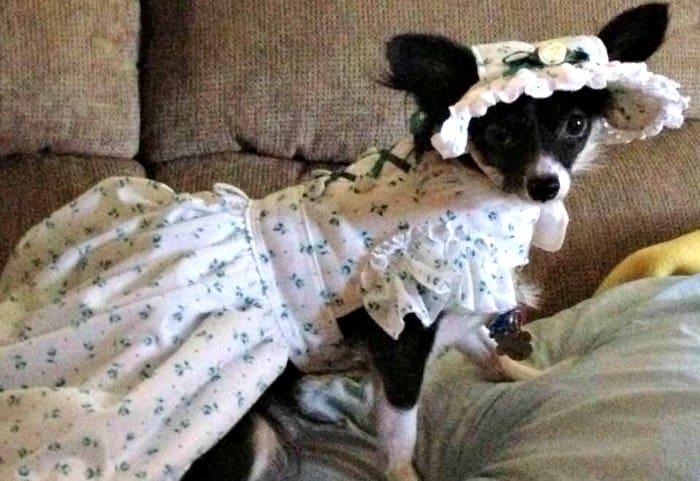 chihuahua wearing Scarlett O'Hara costume