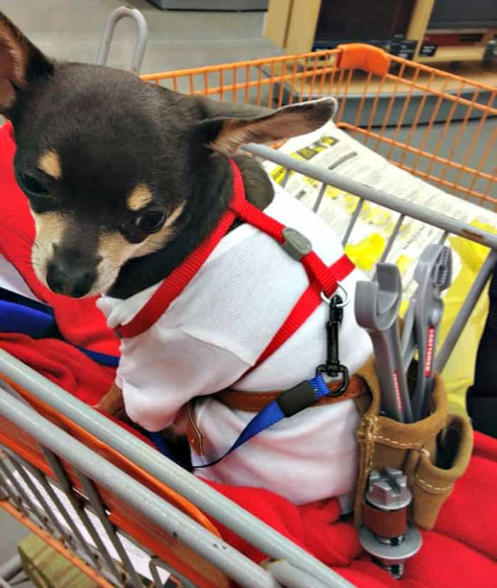 chihuahua in handyman costume