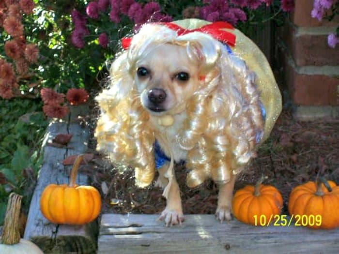 chihuahua in Snow White costume