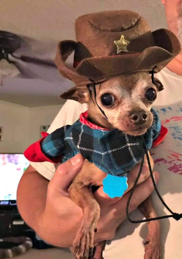 chihuahua in cowboy costume
