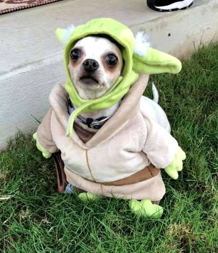 chihuahua dressed as Yoda.