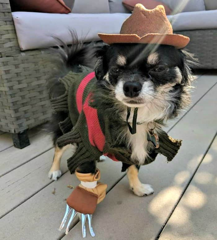 chihuahua dressed as Freddy Kruger