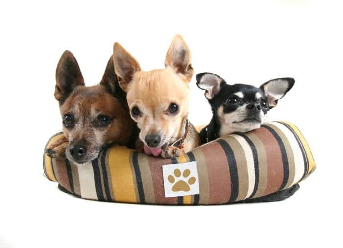 3 chihuahuas in striped dog bed