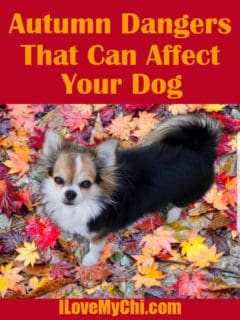 tri-color long hair chihuahua in Autumn leaves