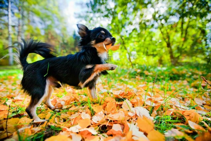 chihuahua playing Autumn leaves