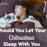 Should You Let Your Chihuahua Sleep With You