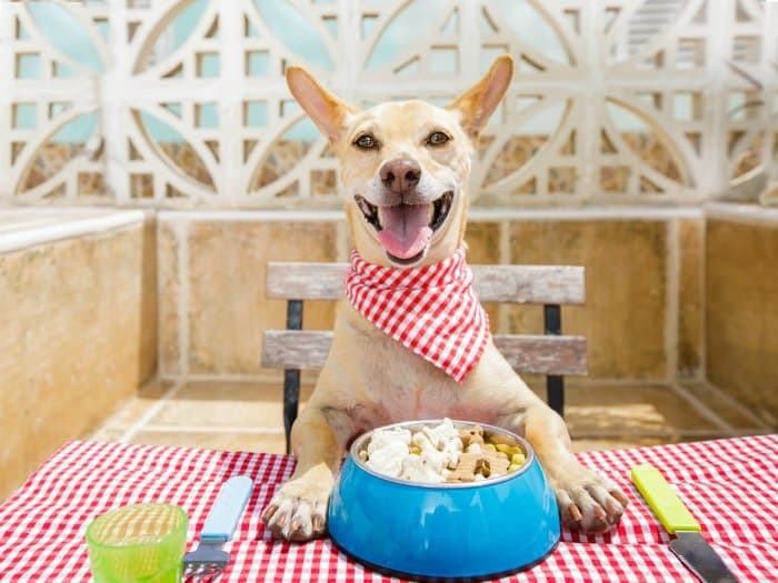 chihuahua eating food table