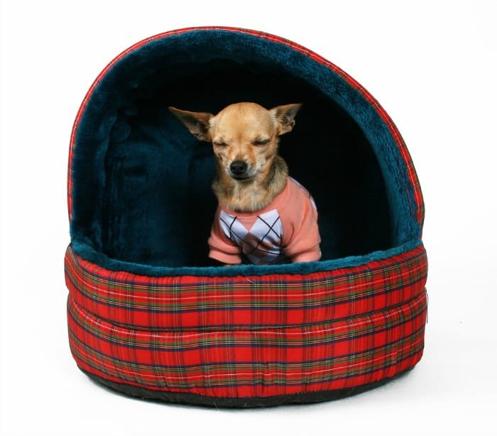 chihuahua in a plaid dog bed