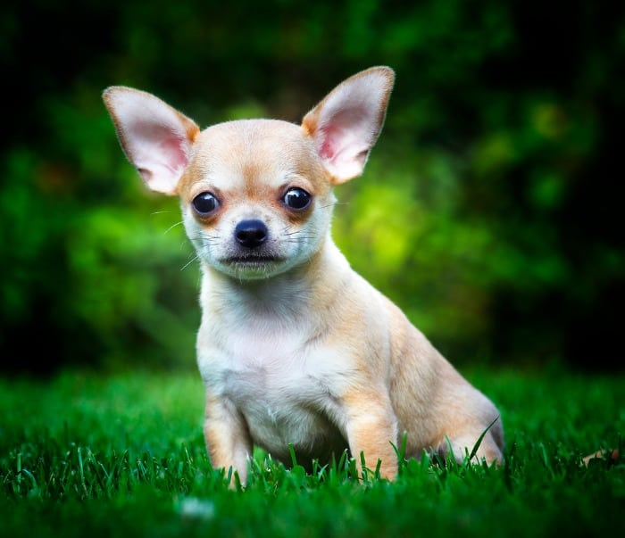 fawn chihuahua sitting in grass