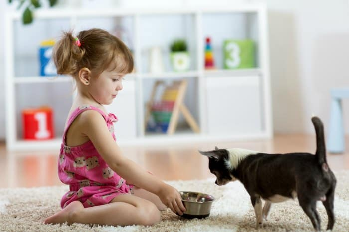 little girl feeding chihuahua